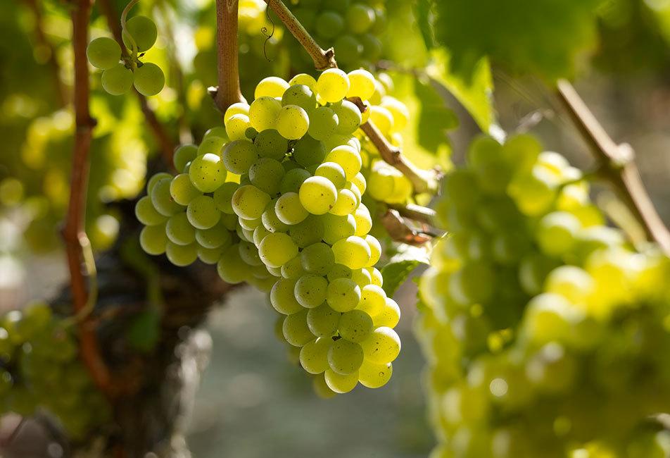 Delor Réserve, 100% Sauvignon blanc